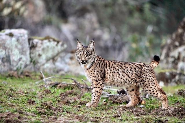 Lynx-pardinus