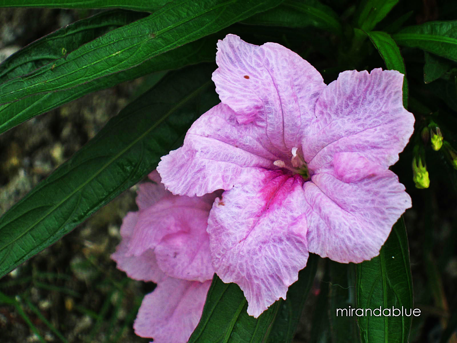 types of dwarf oleanders flirt