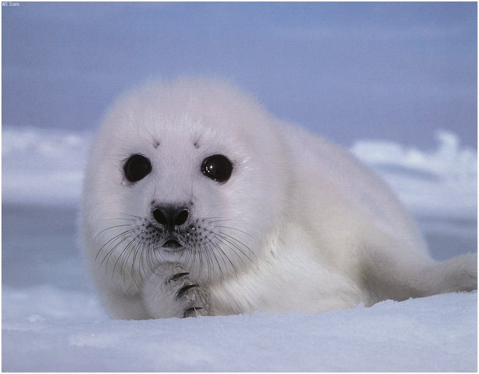 Cute Babies Wallpaper With Tears Funny Animals Cute Baby Seals