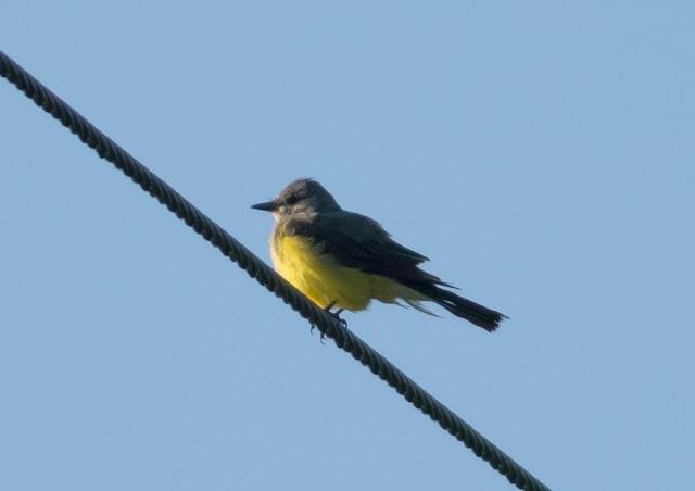 Western Kingbird - Clewiston, Florida
