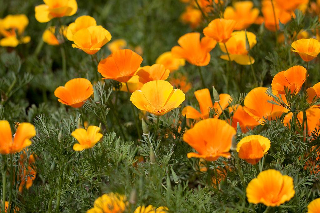 California poppies the weed mightylinksfo
