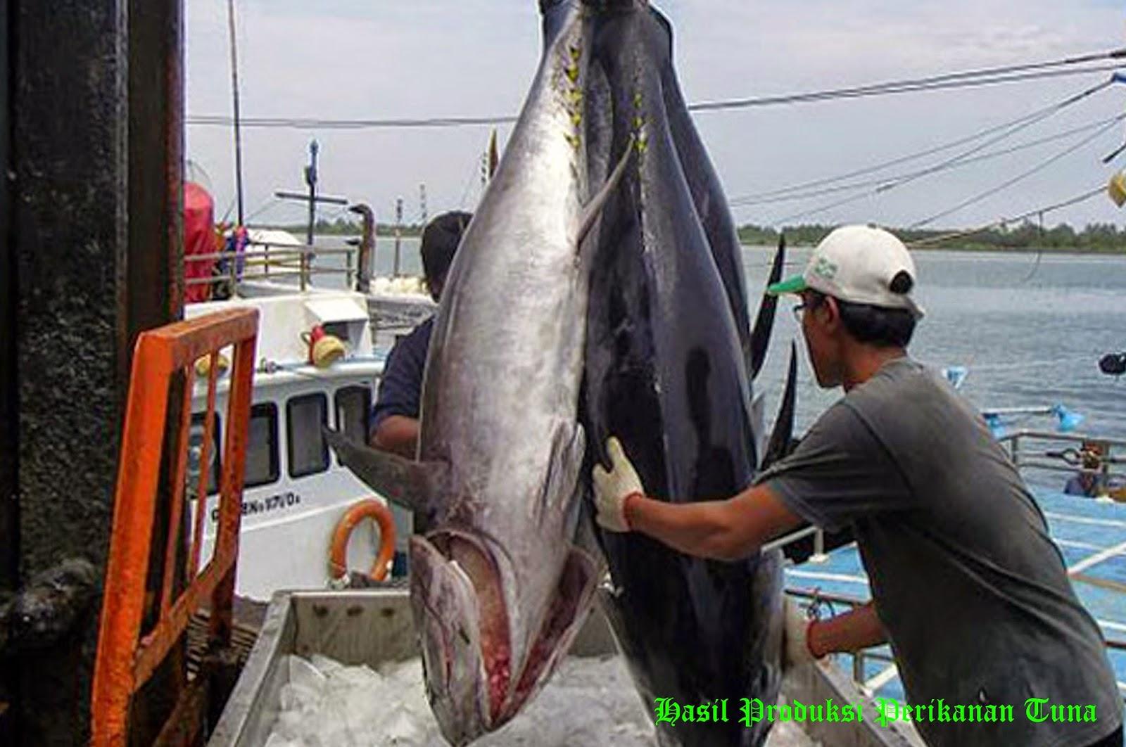 Menangkap ikan yaitu salah satu mata pencaharian bagi nelayan Kabar Terbaru- MENANGKAP IKAN DENGAN LONGLINE
