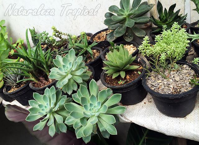 Colección de plantas suculentas cultivadas en pequeñas macetas plásticas