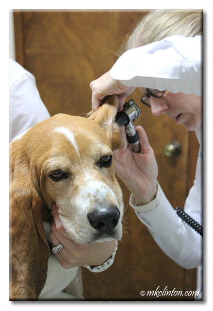 Bentley Basset getting his ears examined