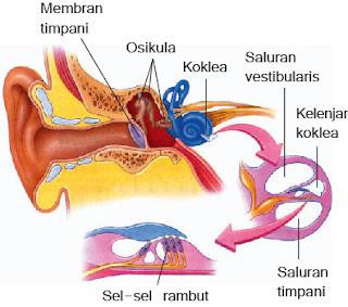 Gambar bagian-bagian telinga