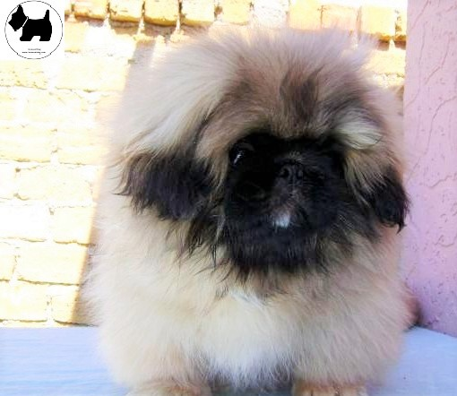 Cutest Dog Breeds, Best Dog, Pekingese Dog puppies