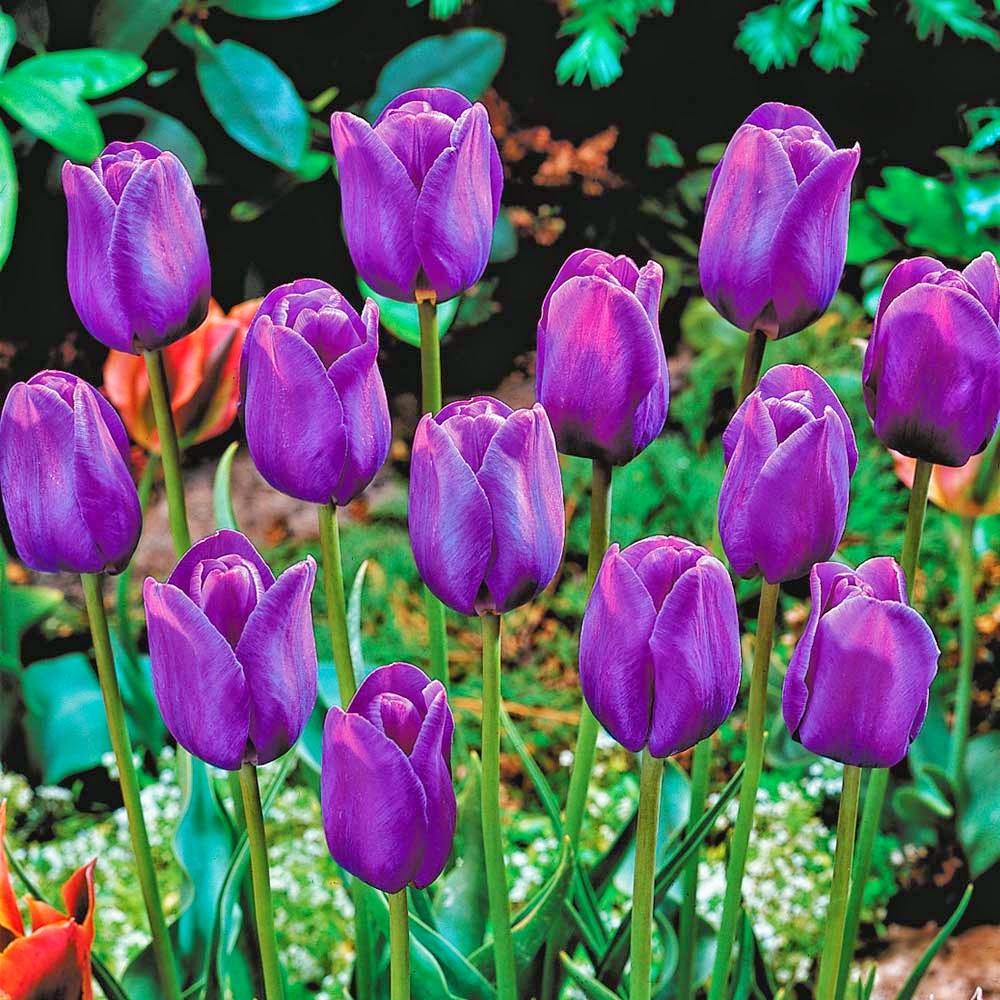 Tarım Siteniz Lale T 252 Rleri 2 Tulipa Varieties