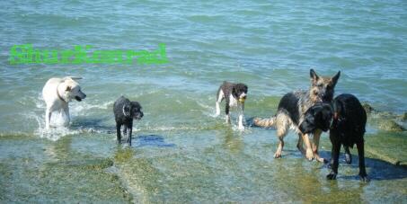 playas-perros- Argentina dog puppy cachorro ShurKonrad 4