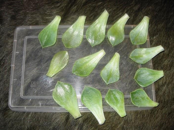 Descomplic ndome reproducci n de las plantas crasas for Plantas crasas interior