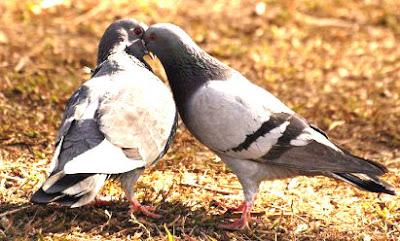 Cara menjodohkan burung merpati yang benar dan tepat