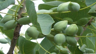 Kakadu plum fruit images wallpaper