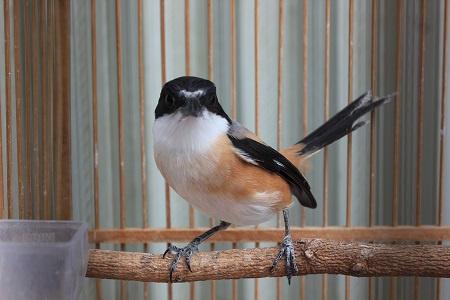Merawat Burung Cendet