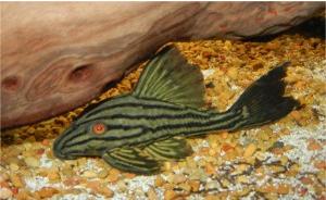 Ikan Sapu Sapu Royal pleco