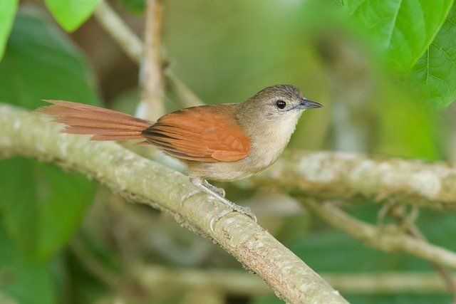 Pássaro João-Teneném-Becuá (Synallaxis gujanensis)