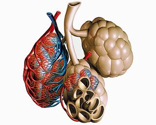 alvéoles pulmonaires hématose