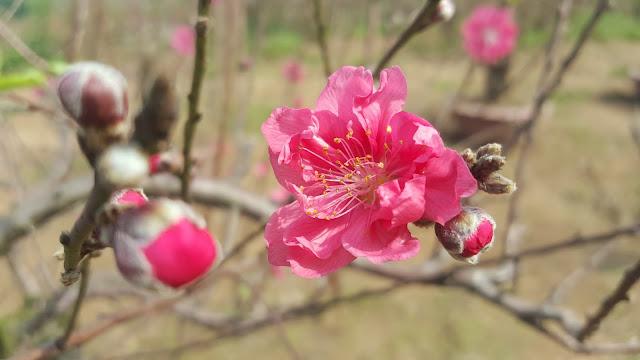 Thuyết minh về hoa đào