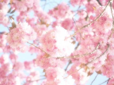 wiśnie, kwitnienie, wiosna, podsumowanie, ważne sprawy