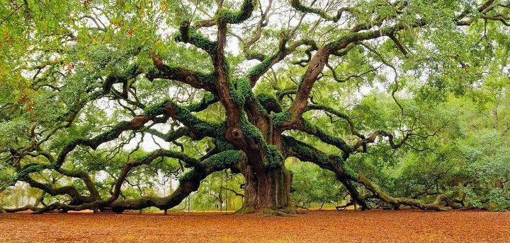 The 1,500 years old Fairy-Talesque Angel Oak Tree on Johns Island, South Carolina, USA