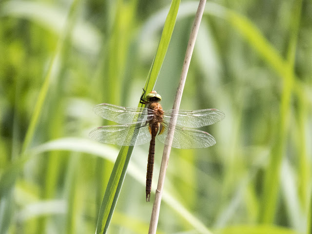 Top places to visit in the Netherlands: Dragon fly at Biesbosch National Park