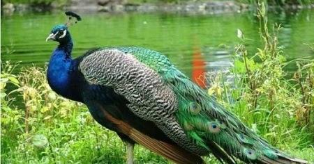 HITZKIEL Burung  Merak  Habitat dan  Ciri cirinya