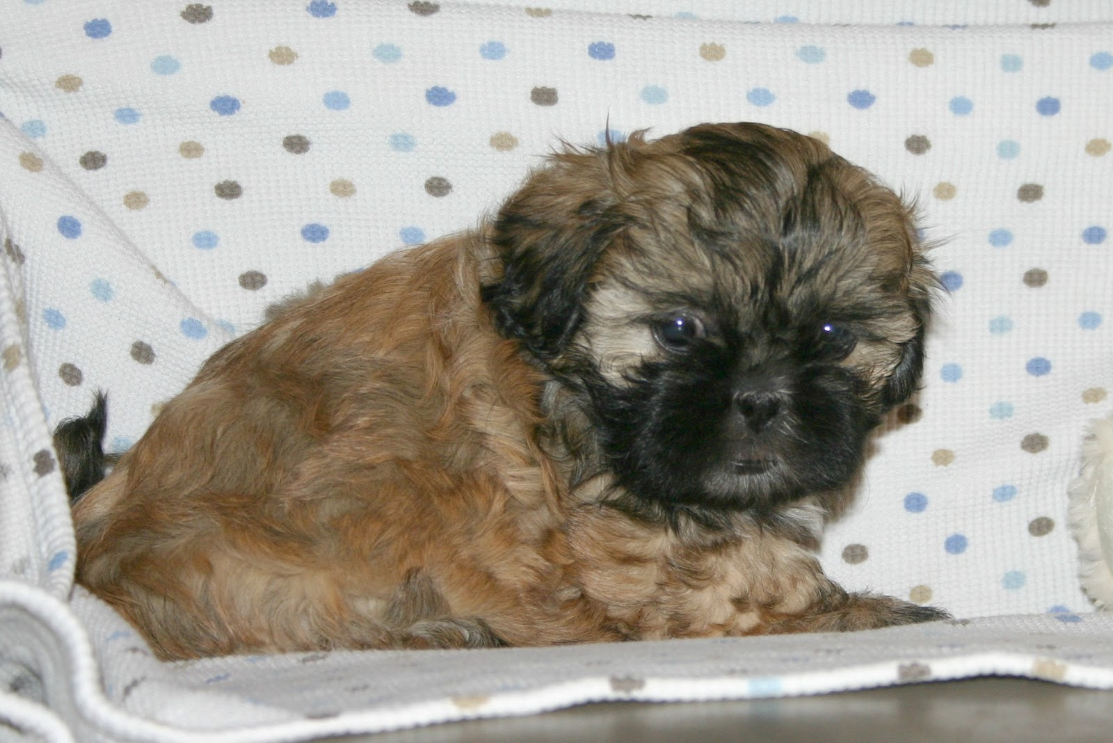 shih tzu breeders in virginia growing puppies virginia schnoodle breeder 2512