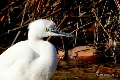 La garceta común (Egretta garzetta) es una de las especies que podemos observar todo el año en las orillas del río.  Su presencia se debe al cambio que ha sufrido el caudal del Manzanares.