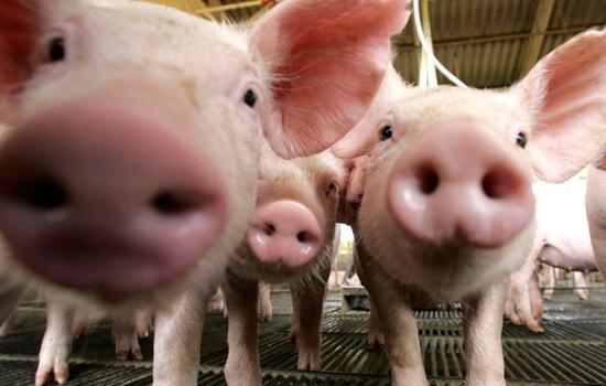 Laporan Penelitian Teknik CRISPR-Cas9 Menciptakan Babi Rendah Lemak