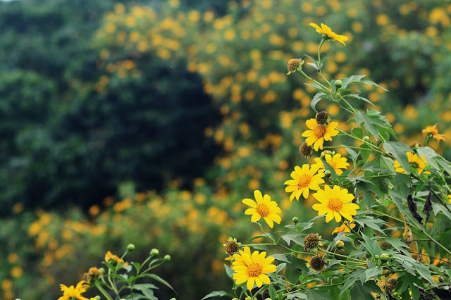 Northwest Vietnam attracts visitors by the beauty of wild sunflower flowers 6