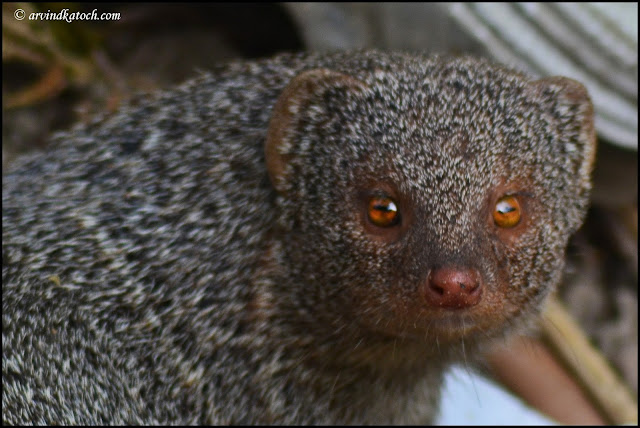 Fascinating, Picture, ruddy Mongoose, Eye Contact,