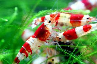 Jenis Udang Hias Air Tawar Red Bee