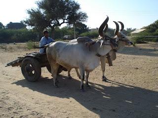 Bos+indicus+Gujarat.jpg
