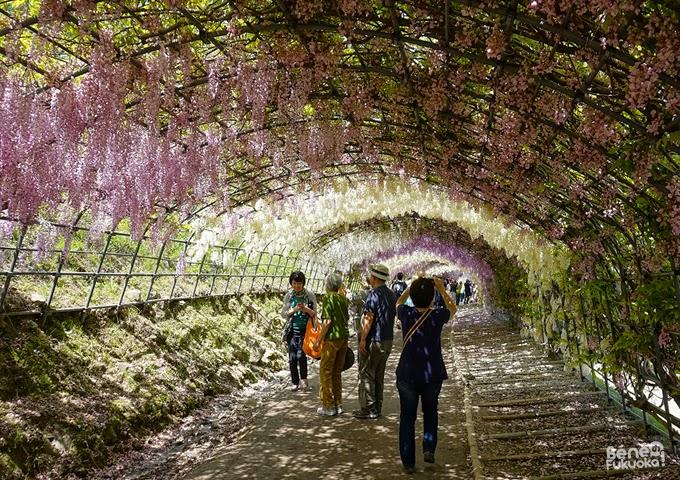 Wisteria tunnel, Kawachi Fuji-en, Fukuoka, Japan