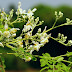 Moringa Plant Seed Could Bring Clean Water to Millions