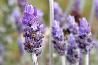 Fresh Lavender flowers prior to essential oil extraction