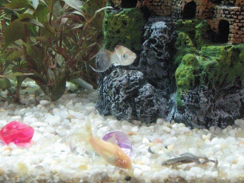 Gambar Ciri Ciri Ikan Hias sakit Atau Stres-Ikan Molly