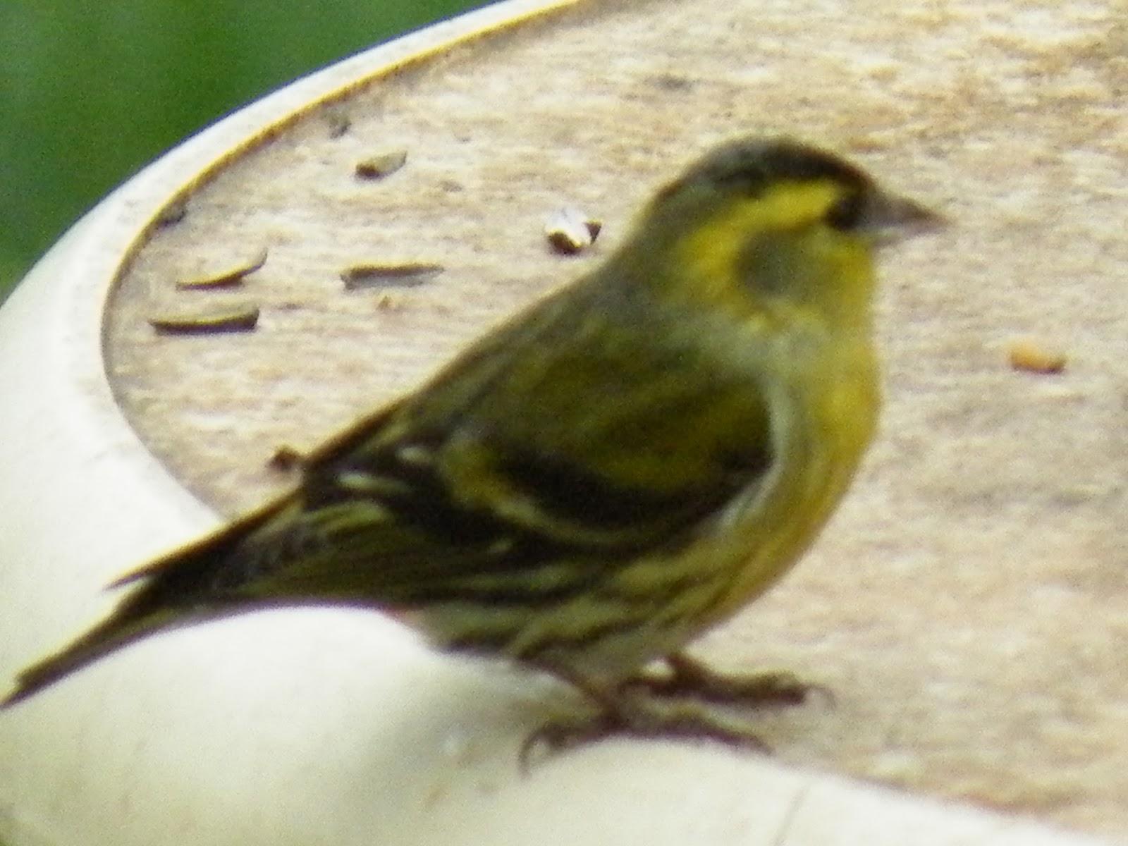 Du four au jardin et mes dix doigts petit oiseau for Petit oiseau avec houpette
