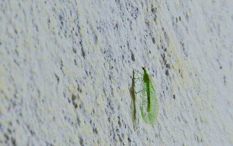 Los crisópidos, crisopas, crisopas verdes, crisopas de alas verdes, ojos dorados, león de áfidos, alas de encaje y moscas hediondas