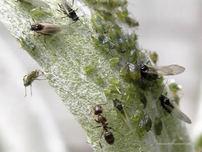 Hormigas, y pulgones en diferentes fases