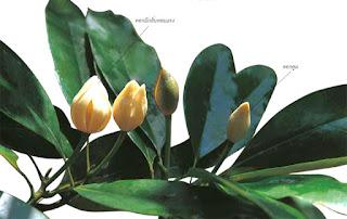 จำปีศรีเมืองไทย จำปีเฉพาะถิ่นของไทย ดอกสีขาว ดอกบานตั้งขึ้น กลิ่นหอมแรง