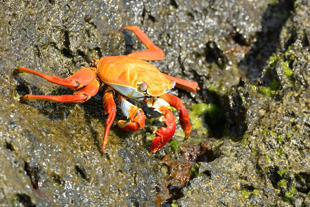 Gardner Bay crab