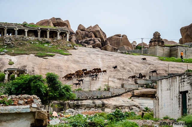 goats grazing in temple complex
