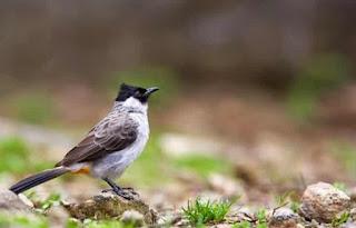 Suara Khas Burung Kutilang