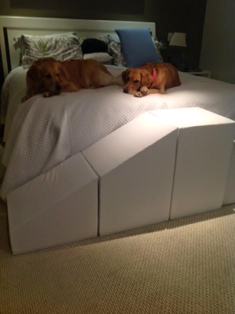 cães labradores rampas