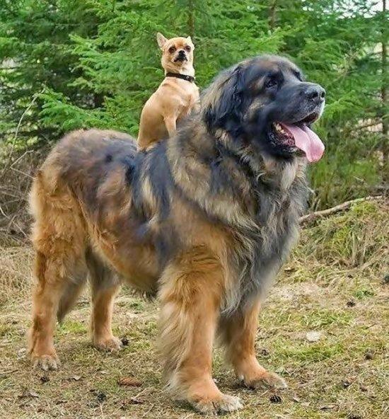 Perro rastreador Leonberger