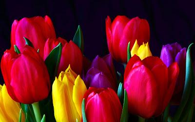 Bunga Tulip Cantik