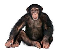 Oturarak bakan siyah bir maymun