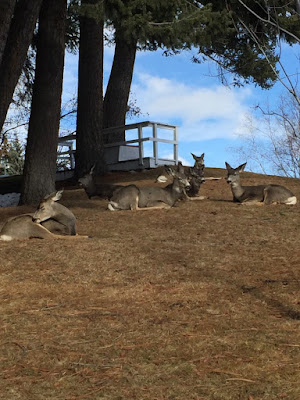 Mule deer in Kimberley