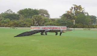 Buaya Raksasa Sepanjang 5 Meter Ini Muncul di Lapangan Golf di Florida