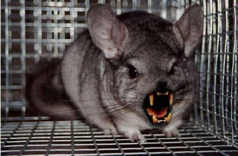Funny Animals Funny Pictures Funny Chinchilla Cute Animals