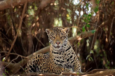 Onça, onça-pintada, Pintada, Jaguar, pantera, panthera onca, panthera, felino, maior felino do Brasil, extinção, Natureza e Conservação, natureza, animal, foto de onça